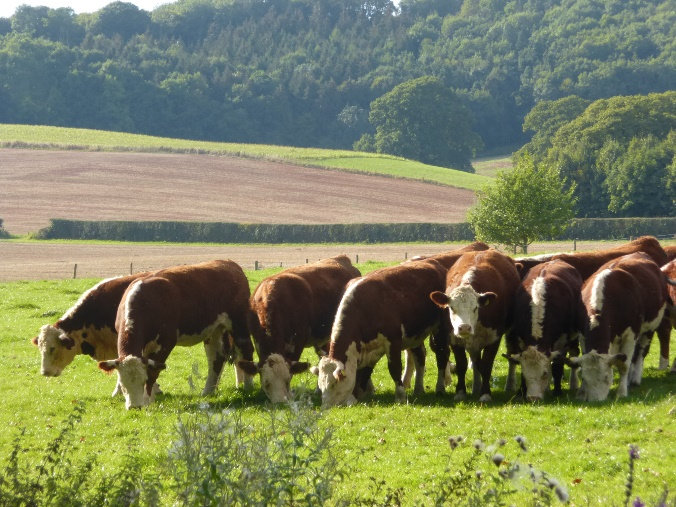 Grass-fed cattle at Lower Hope, Ullingwick