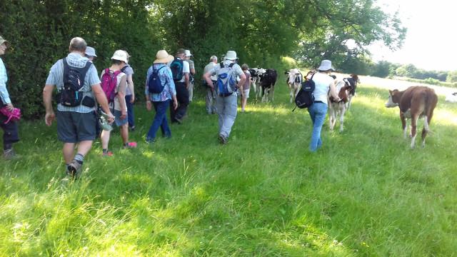 Walking through the Holstein Friesian heifers