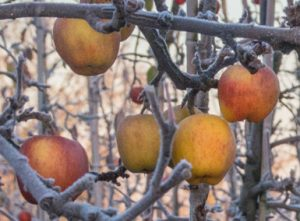 Apples in frost at Castle Fruit Farm by Pat Strauss