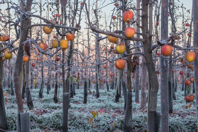 Apple trees in frost at Castle Fruit Farm by Pat Strauss