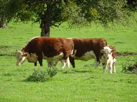 Cattle at Awnell's Farm